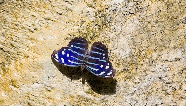 Blue wave mariposa myscelia cyaniris