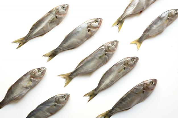 Bluefish en blanco, patrón de pescado,