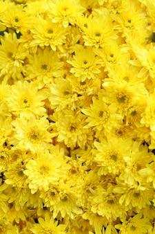 Bluming amarillo caída textura abstracta de crisantemo
