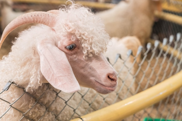 Bolivia cabra en granja