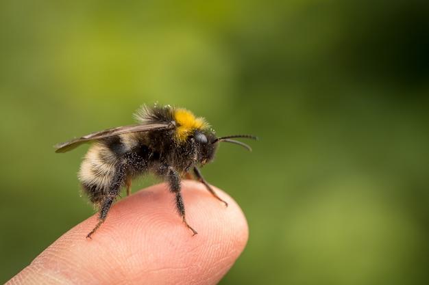 Bombus norvegicus, una especie de abejorro cuco, insecto macho sentado en un dedo humano