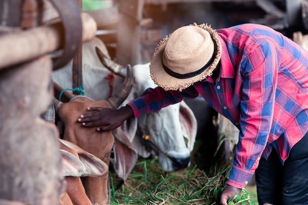 Bondad agricultor africano alimentando vacas con pasto en la granja