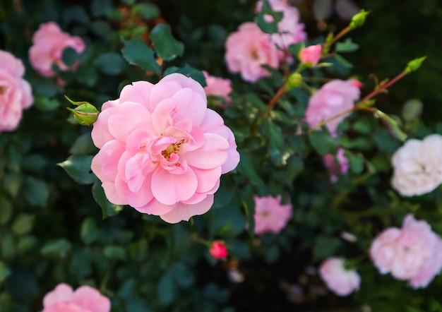 Bonica hermosas rosas rosadas en el jardín