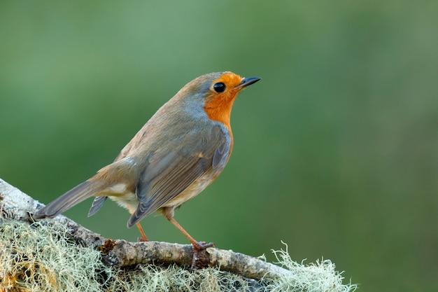 Bonita ave con un bonito plumaje rojo anaranjado