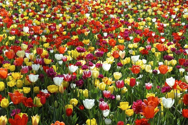 Bonito campo de tulipanes