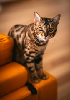 Bonito gato de bengala se encuentra en el sofá amarillo