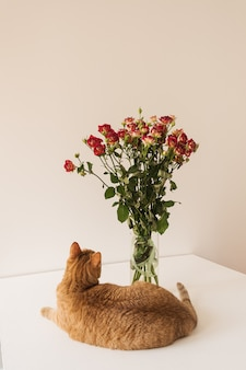 Bonito gato rojo mirando el ramo de rosas rojas en un jarrón contra la pared blanca