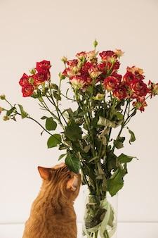 Bonito gato rojo oliendo ramo de rosas rojas en un jarrón contra la pared blanca