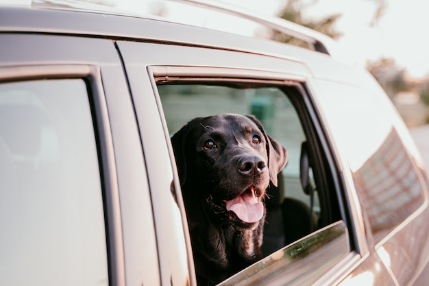 Bonito labrador en un coche