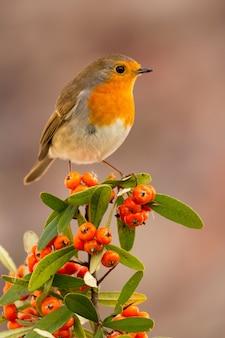 Bonito pájaro con un bonito plumaje rojo