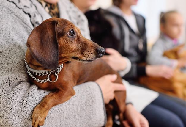 Bonito perro salchicha en manos del dueño esperando la cola para un examen médico en la clínica veterinaria