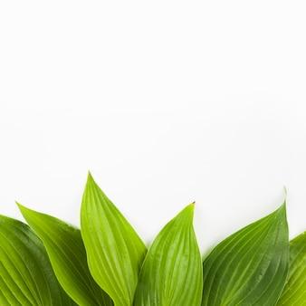 Borde inferior hecho con hojas verdes frescas sobre fondo blanco