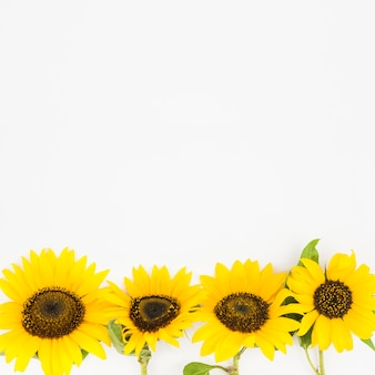 Borde inferior hecho con girasol amarillo sobre fondo blanco