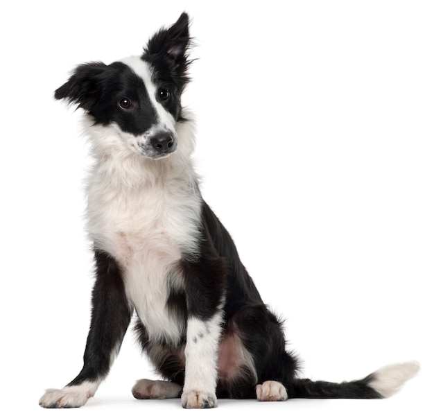 Border collie, 4 meses de edad, sentado