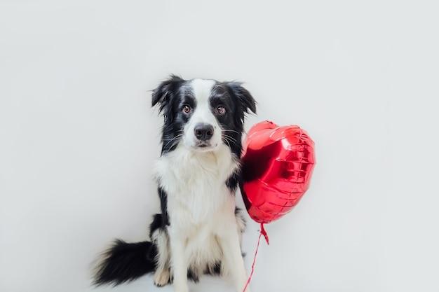 Border collie de perro cachorro divertido con globo de corazón rojo en la pata aislado sobre fondo blanco.