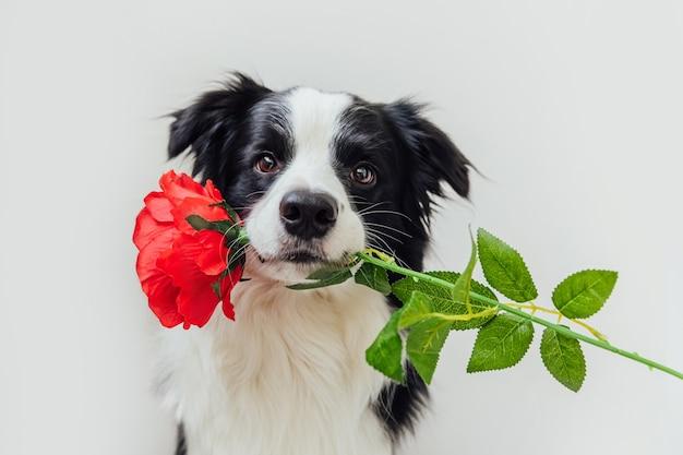 Border collie de perro cachorro con flor rosa roja en la boca aislado sobre fondo blanco.
