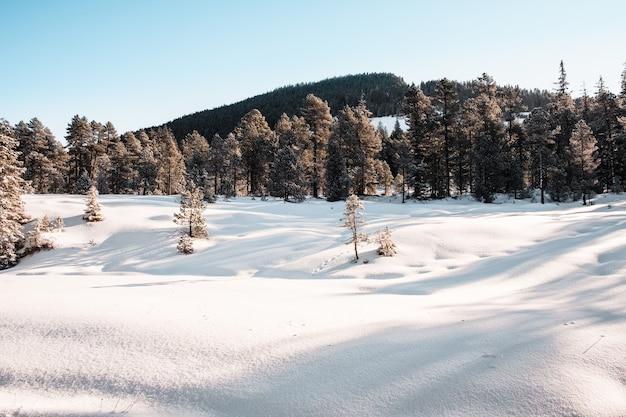 Bosque de abetos durante el invierno cubierto de nieve