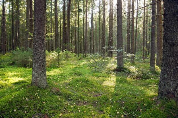 Bosque de abetos en la mañana de principios de verano, musgo en el suelo, árboles de navidad jóvenes.