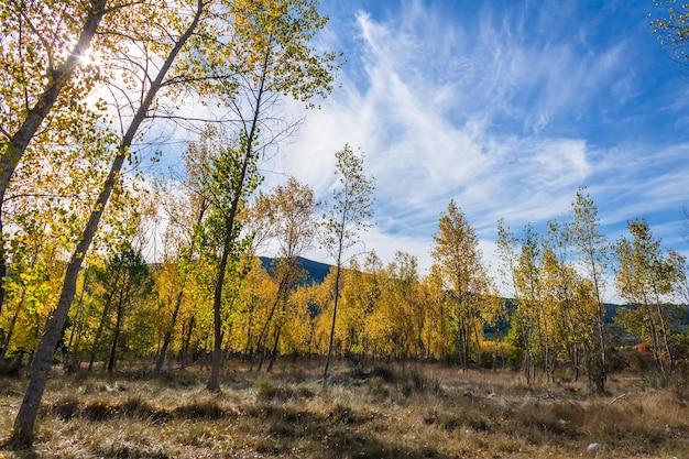 Bosque de álamos con hojas amarillas cerca del río serpis, alicante, españa.