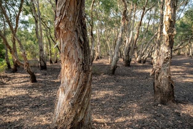 Bosque de árboles de té cajuput o paperbark en el parque botánico rayong, tailandia