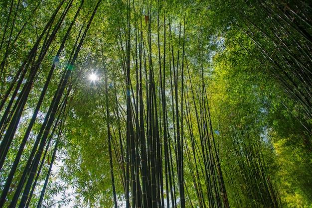 Bosque de bambú del jardín, chiang mai, tailandia