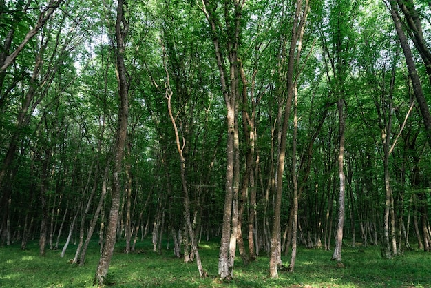 Bosque caducifolio verde de día, hermoso fondo natural