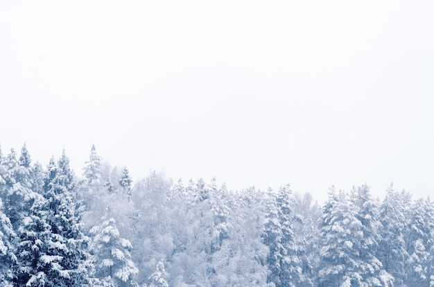 Bosque de coníferas cubierto de nieve paisaje telón de fondo