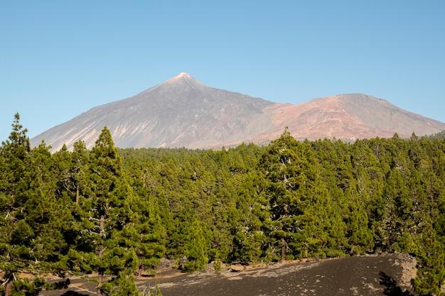 Bosque de coníferas con fondo de montaña