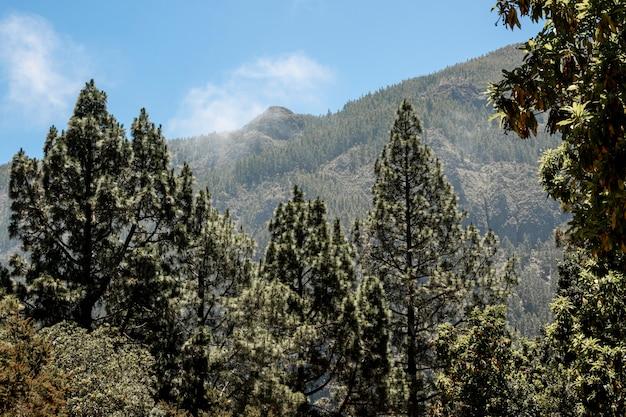 Bosque de coníferas con montaña en el fondo