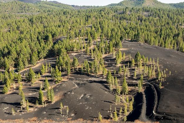 Bosque de coníferas que crece en suelo volcánico
