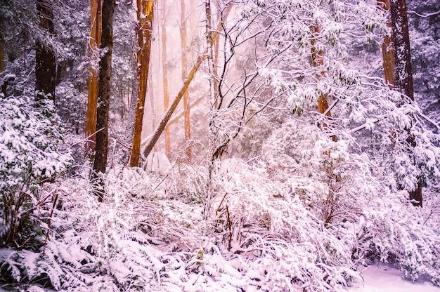 Bosque de eucaliptos cubierto de nieve