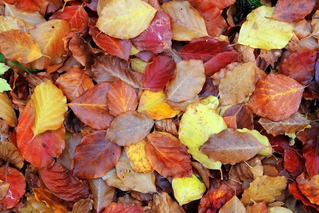 El bosque de hayas otoñales deja el piso dorado rojo amarillo