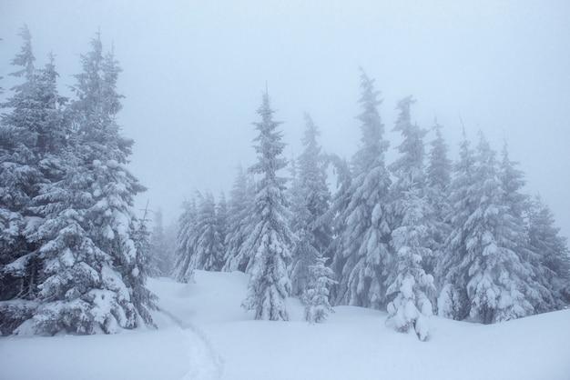 Bosque de invierno congelado en la niebla. pino en la naturaleza cubierto de nieve fresca cárpatos, ucrania