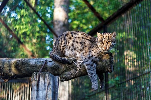 Bosque del este lejano gato en el zoológico