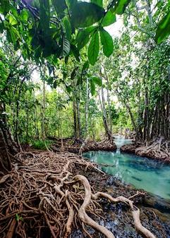 Bosque de manglar krabi tailandia