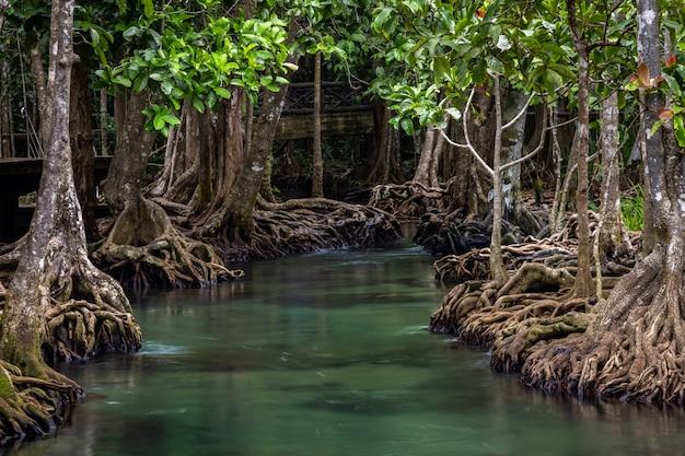El bosque de manglares de tha pom, la piscina de tha pom khlong song nam emerald es una piscina invisible en el bosque de manglares de krabi, krabi, tailandia