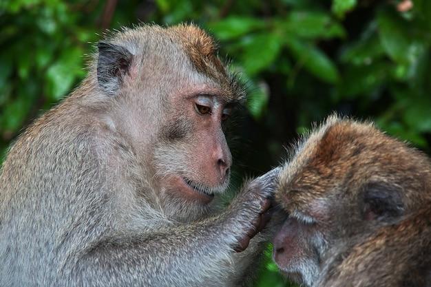 Bosque de monos, zoológico de bali, indonesia