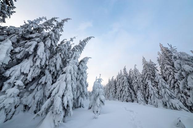 Bosque de montaña con altos abetos verde oscuro y camino en la nieve