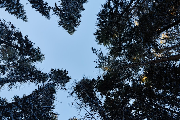Bosque oscuro, caminar en el bosque antes de navidad