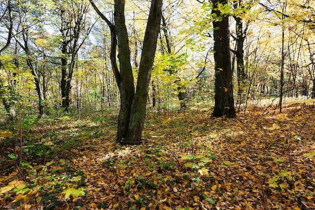 Bosque de otoño (parque): árboles de hoja caduca que crecen en el parque en la temporada de otoño. bielorrusia