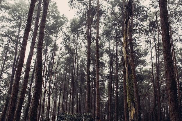 Bosque de pinos con árboles cubiertos de musgo y niebla, estilo vintage.