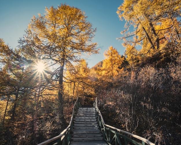 Bosque de pinos otoñales con cielo azul en el valle en la reserva natural de yading