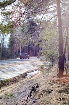 Bosque de pinos a principios de primavera bajo la nieve. bosque bajo el paisaje de invierno de nieve. el sol calienta el pinar que ha despertado después del invierno.
