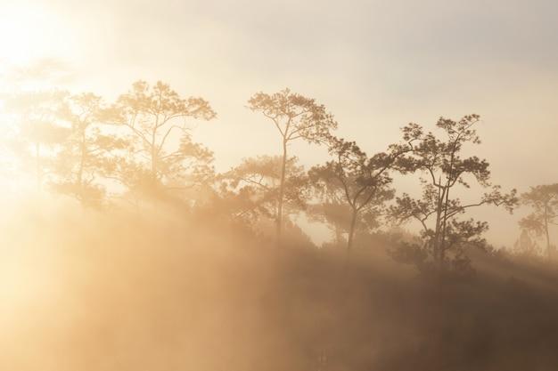 Bosque de pinos en el tiempo de la mañana en