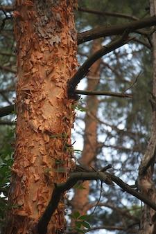Bosque de pinos con troncos viejos distorsionados entrelazados con uvas silvestres