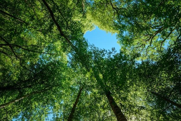 Bosque, ramas de árboles verdes, cielo azul, vista hacia arriba, hermoso fondo natural