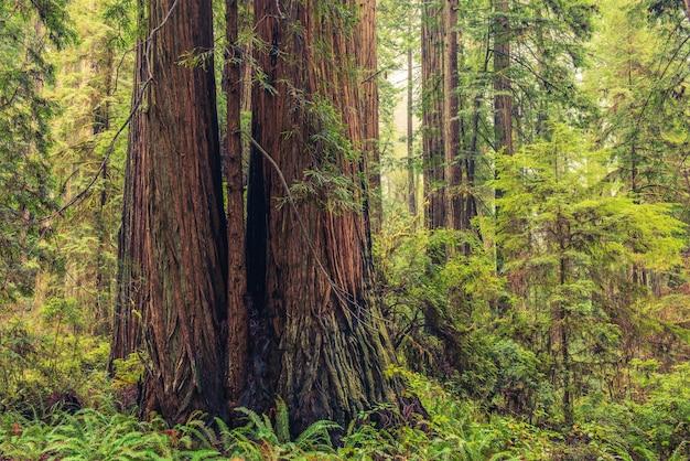 Bosque de redwood coastal