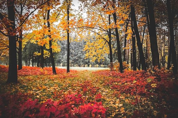 Bosque de robles con hojas amarillas en otoño, filtro