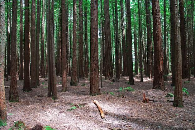 Bosque rojo en rotorua, nueva zelanda