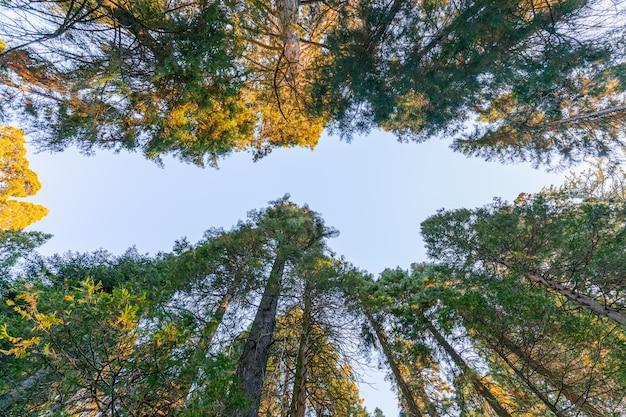Bosque de secuoyas gigantes en la luz del sol